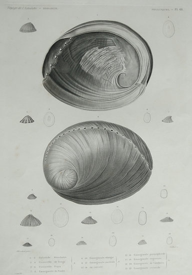 Molusques (seashells) - Voyage de l'Astrolabe Original Lithographs 1835 Plate 68