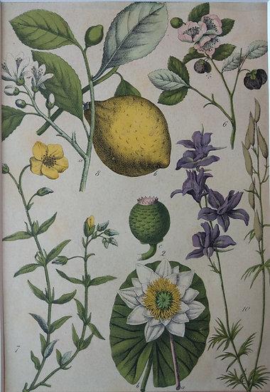 Botanicals Germany V 1865 Hand Coloured Lithographs