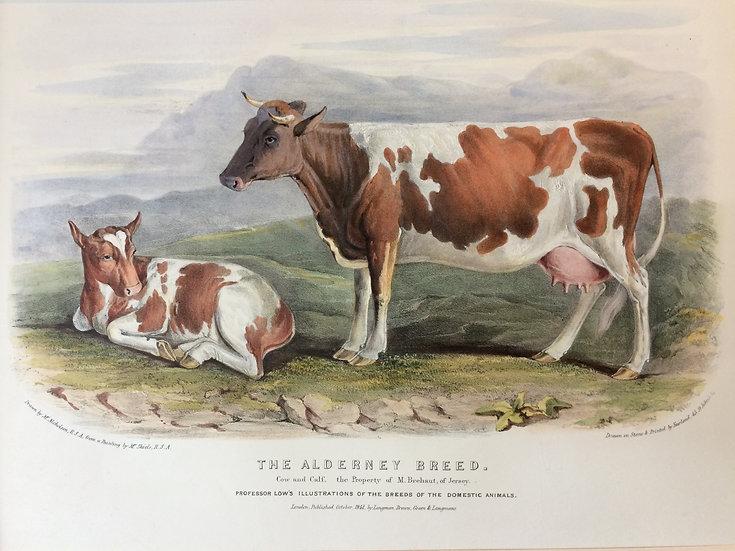 Professor Low's Domestic Animals - The Alderney Breed