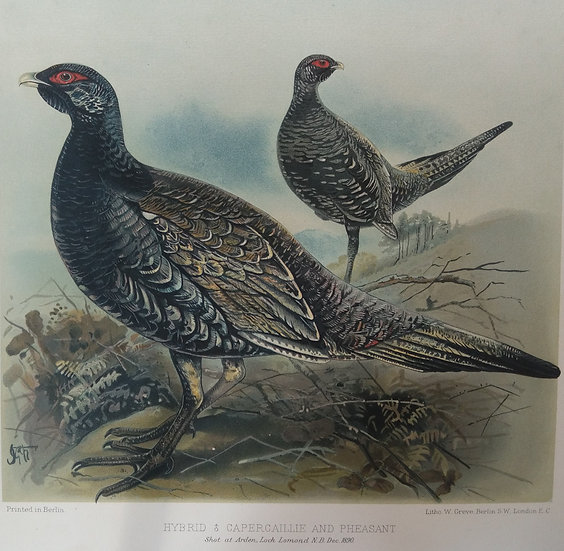 Grouse Chromolithograph - Hybrid male capercaillie and pheasant