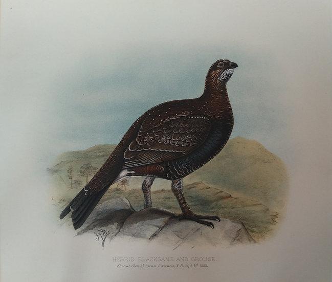 Grouse Chromolithograph - Hybrid blackgame and grouse
