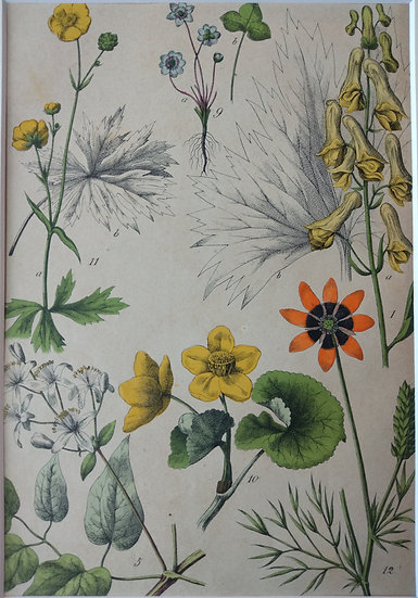 Botanicals Germany III 1865 Hand Coloured Lithographs