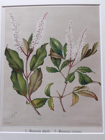 Featon's Flowers NZ - Wienmannia silvicola