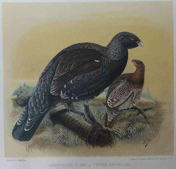 Grouse Chromolithograph - Capercaillie male and female (Tetrao Urogalllus)