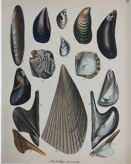 Shells - Hand Coloured Lithograph Circa 1840 (Mytilus Avicula)