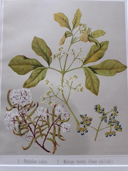 Featon's NZ flowers - Phebalium nudum