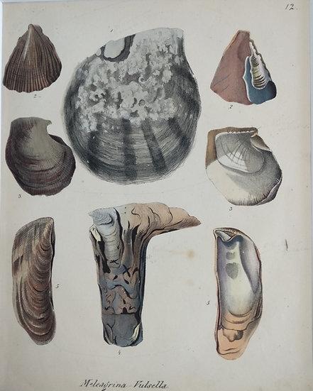 Shells - Hand Coloured Lithograph Circa 1840 (Moleagrina Vulsella)