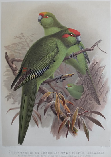 Buller's Birds - Yellow, red, orange Fronted Parakeets - Chromolithograph 1888