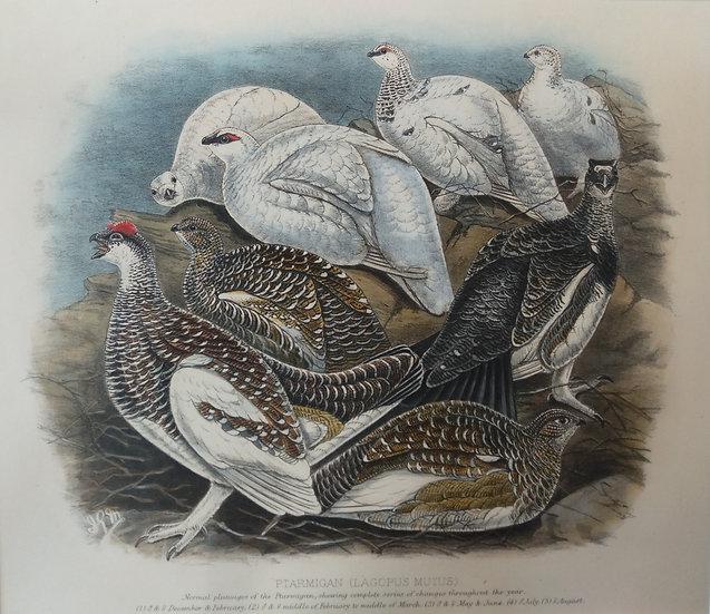 Grouse Chromolithograph - Normal plumage of Ptarmigan