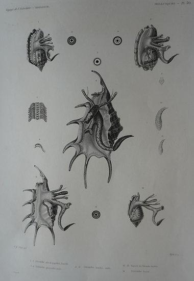 Zoologie Mollusques. Voyage de l'Astrolabe Plate 50. 1835