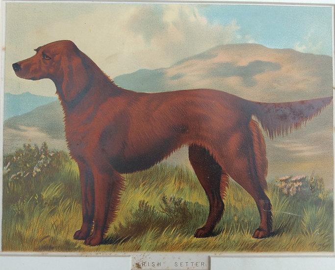 Irish Setter - Chromolithograph 1885 British