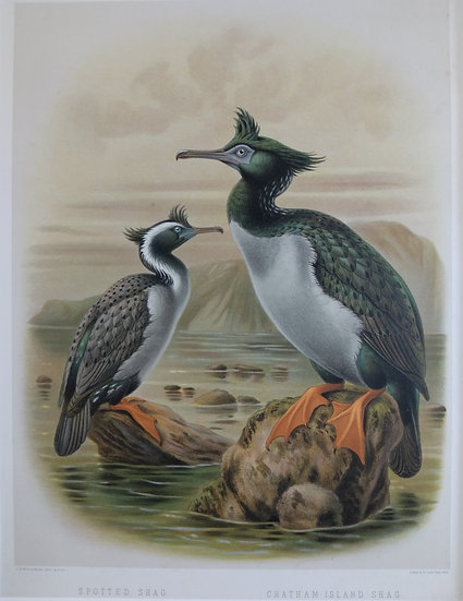 Buller's Birds - Spotted and Chatham Island Shag - Chromolithograph 1888