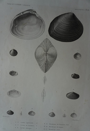 Zoologie Mollusques. Voyage de l'Astrolabe Plate 82. 1835. 270 X 400 mm