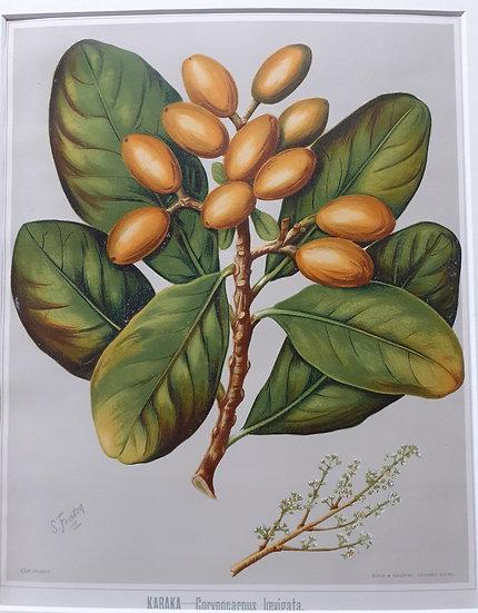 Featon's NZ flowers - Karaka Corvnocarnus Irevigata