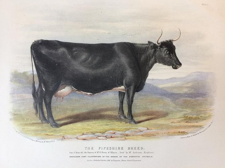 Professor Low's Domestic Animals - The Fifeshire Breed