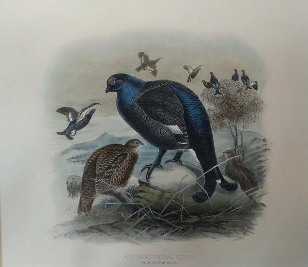 Blackgame (Tetrao Tetrix) - Chromolithographs Game birds C.1890