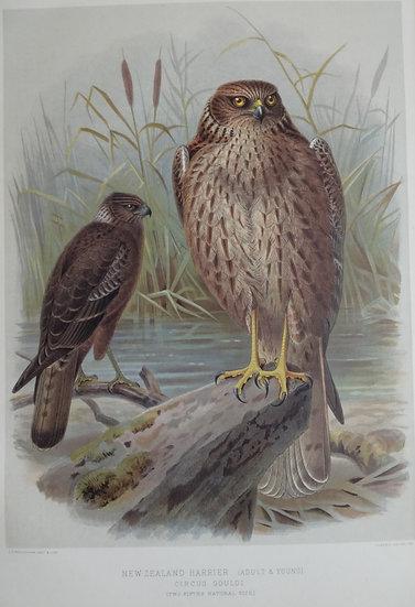 Buller's Birds - NZ Harrier - Chromolithograph 1888