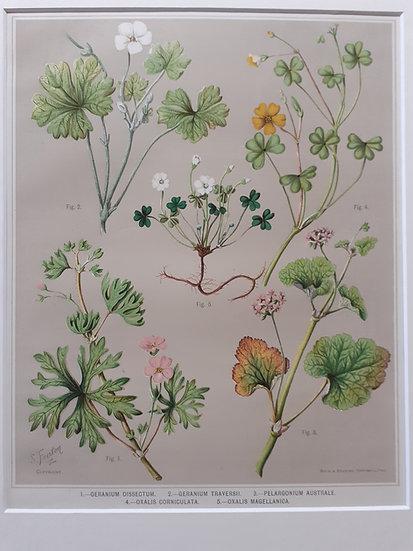 Featon's NZ flowers - Geranium Dissectum et al.