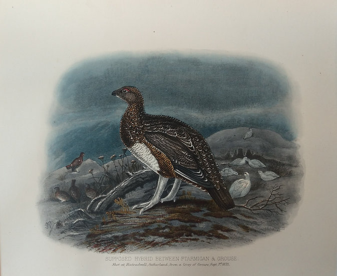 Grouse Chromolithograph - Supposed Hybrid between Ptarmigan & Grouse