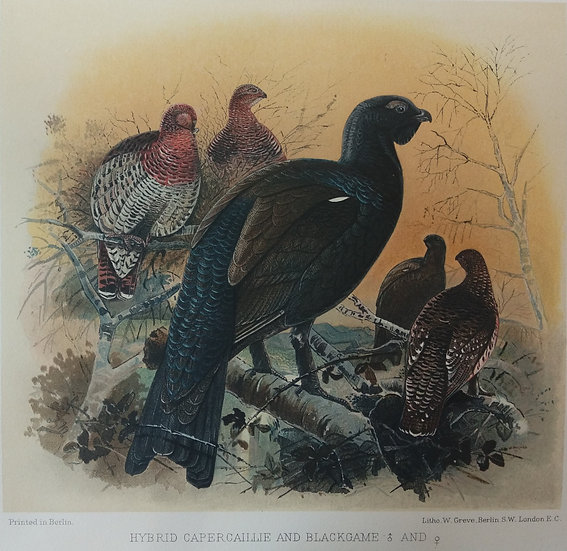 Grouse Chromolithograph - Hybrid capercaillie and blackgame male and female