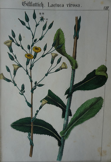 Lactuca. German hand coloured lithograph. C. 1860. 280 X 180