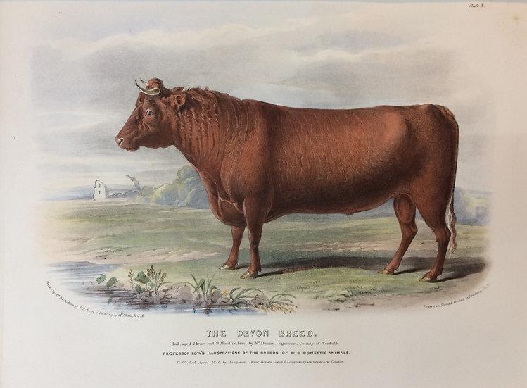 Professor Low's Domestic Animals - The Devon Breed