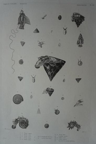 Zoologie Mollusques. Voyage de l'Astrolabe Plate 54. 1835. 270 X 400 mm