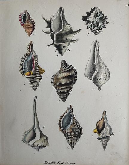 Shells - Hand Coloured Lithograph Circa 1840 (Banella Fasciolaria)