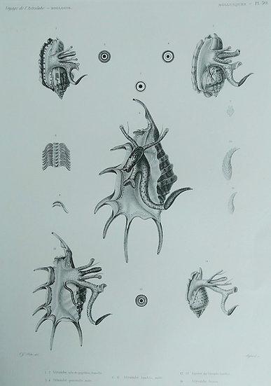 Molusques (seashells) - Voyage de l'Astrolabe Original Lithographs 1835 Plate 52