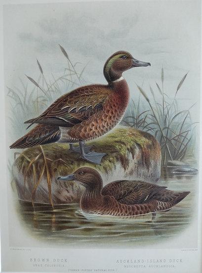 Buller's Birds - Brown Duck and Auckland Island Duck - Chromolithograph 1888