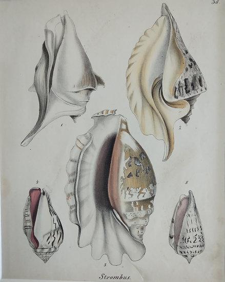 Shells - Hand Coloured Lithograph Circa 1840 (Strombus)