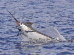 blue marlin fishing kona