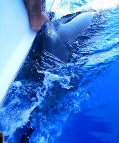 2 for 10 on blue marlin in the last two days of fishing. Enough rubber hooks already! Kona is biting