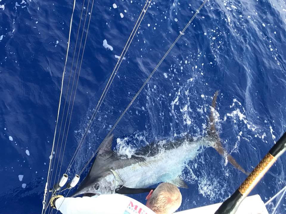 Kona blue marlin
