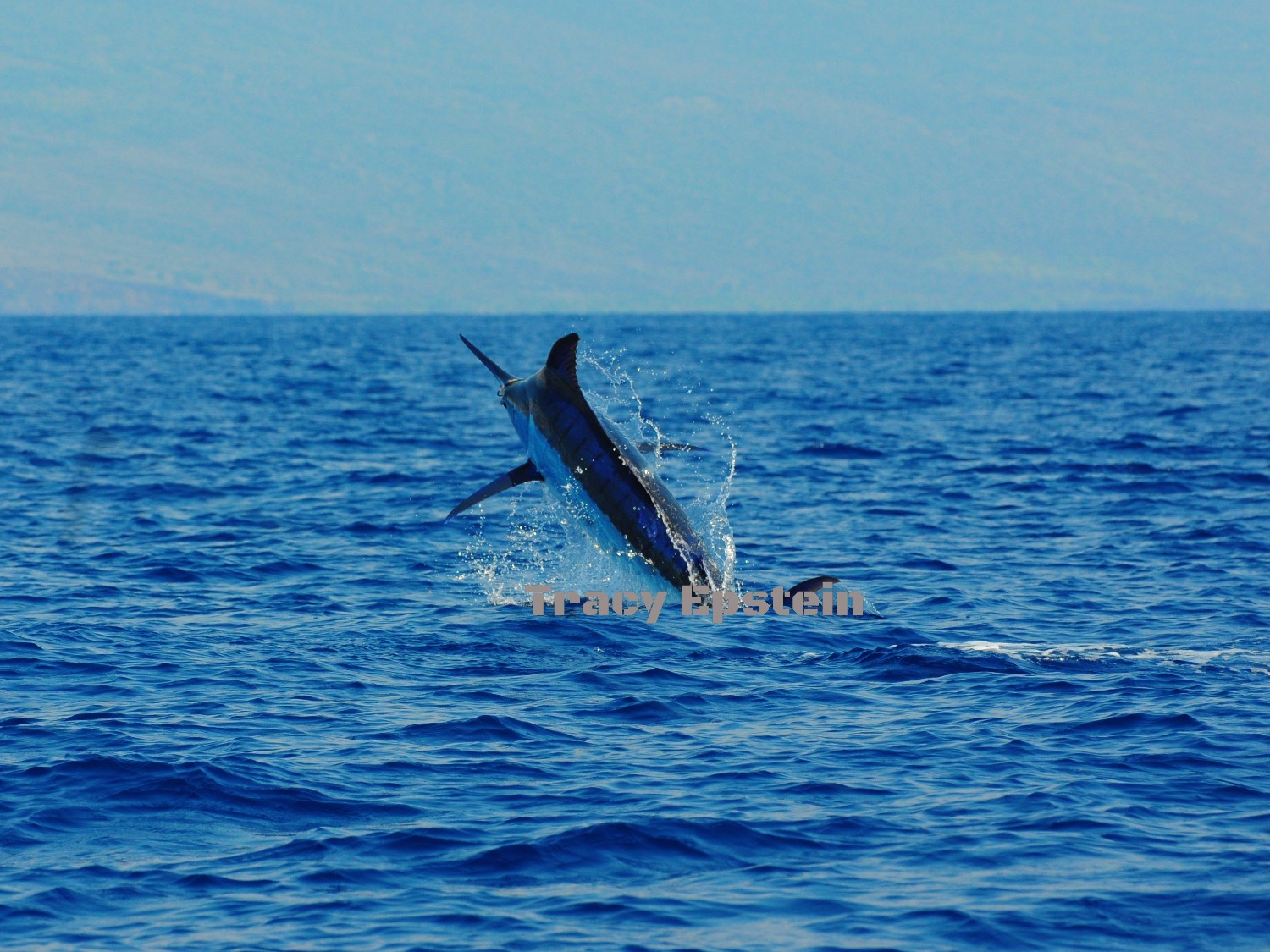 big blue marlin kona hawaii