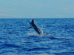 big blue marlin kona hawaii