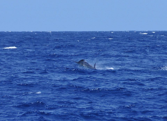 Nice Blue marlin around right now