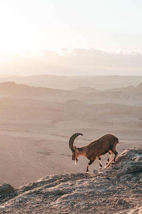 Ibex in Mitzpe Ramon