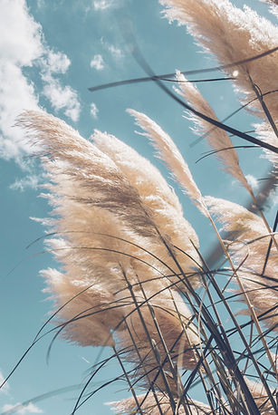 Pampa grass with light blue sky and clou