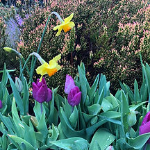 Tulips background.jpg