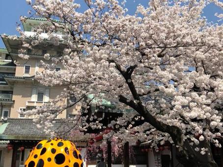 桜満開の京都へ