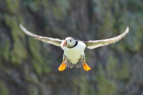 Puffin in flight