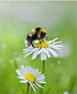 Bees%20and%20daisies_edited.png