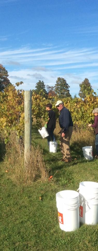 Grape harvest at Gathering Ground