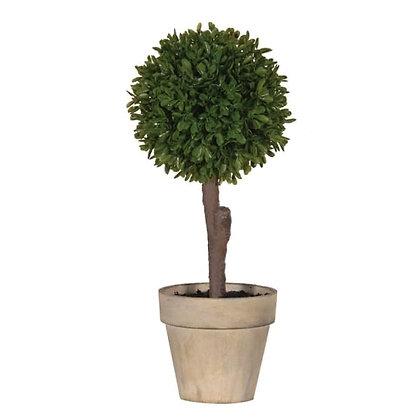 Small boxwood tree