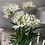Thumbnail: Agapanthus in a white glazed shallow bowl