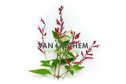 Ananassalie bloem