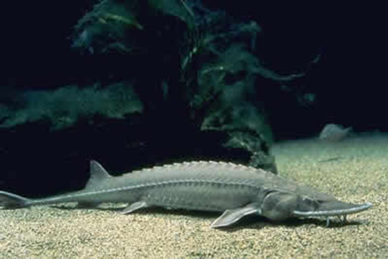 big_pic_shovelnose_sturgeon.jpg