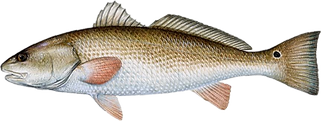 Red Drum.png