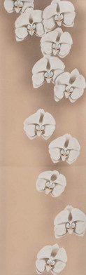 Obi  Moth Orchid